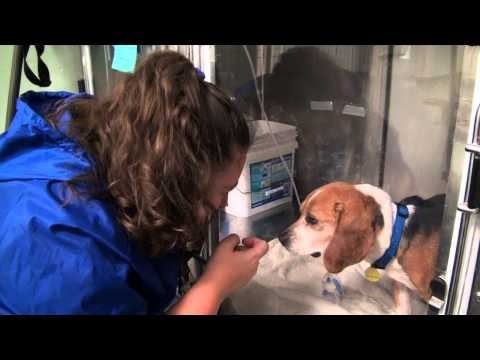George, a rescued beagle needs your help