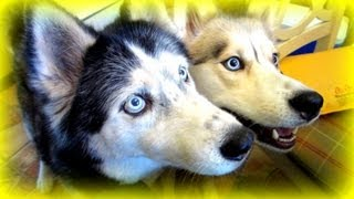 How To Help A Siberian Husky Dog With Arthritis  Fan Friday #69