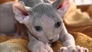 Эльфы - сказочная порода кошек