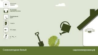 видео Снежноягодник белый. Выращивание и уход