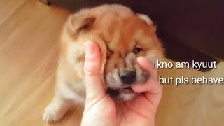 Hooman pls calm down - Shiba Inu puppies (with captions)