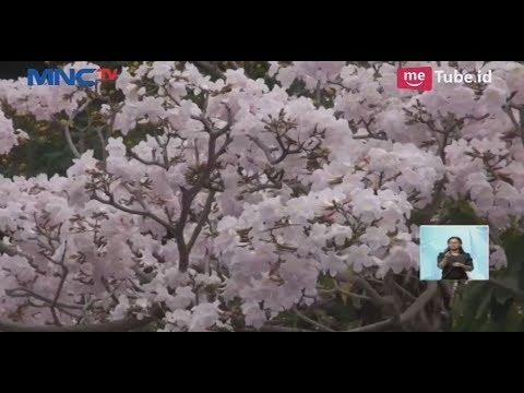 Download 5600 Gambar Bunga Sakura Gugur HD Paling Keren