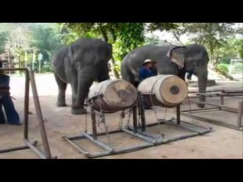 THAILAND'S ELEPHANT ORCHESTRA PLAY