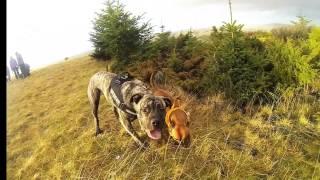 Boerboel Puppy & Staffordshire Bull Terrier