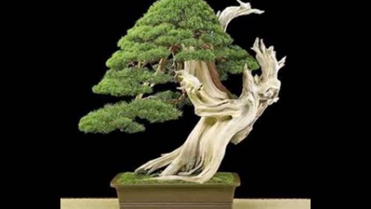 How to tell the sex of your bonsai