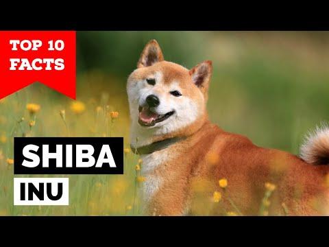 Shiba Inu - Top 10 Facts