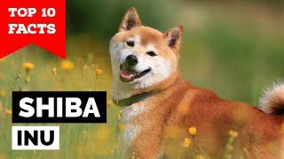 Shiba Inu  Top 10 Facts