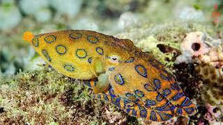 Самый ядовитый осьминог