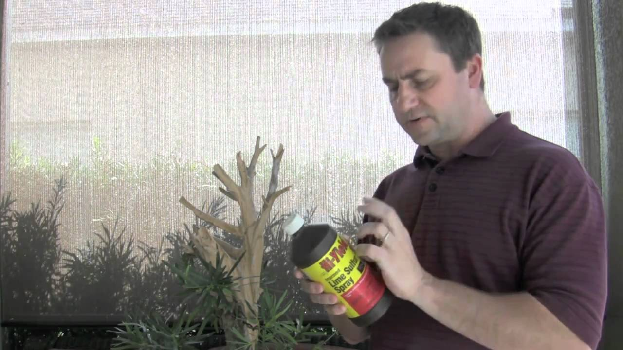 Bonsai Lime Sulfur Application Safety On Driftwood Youtube