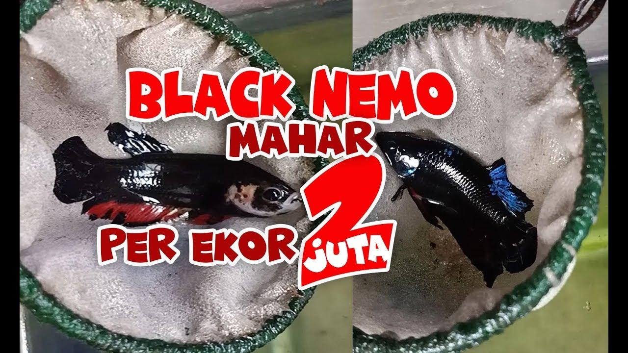 Aje Gileeee Black Nemo Di Banderol Harga 2 Juta Youtube