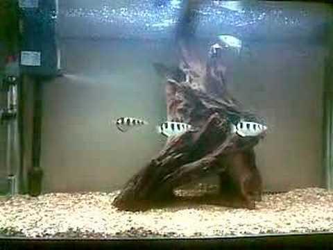 My baby Jardini Saratoga and and Archer fish