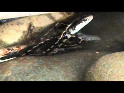 western-terrestrial-garter-snake-(wild)