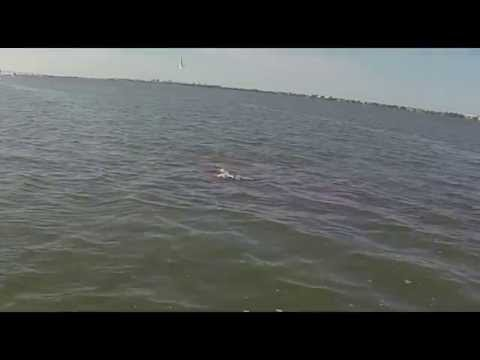 Carnage in the Indian River, Jensen Beach FL 2014