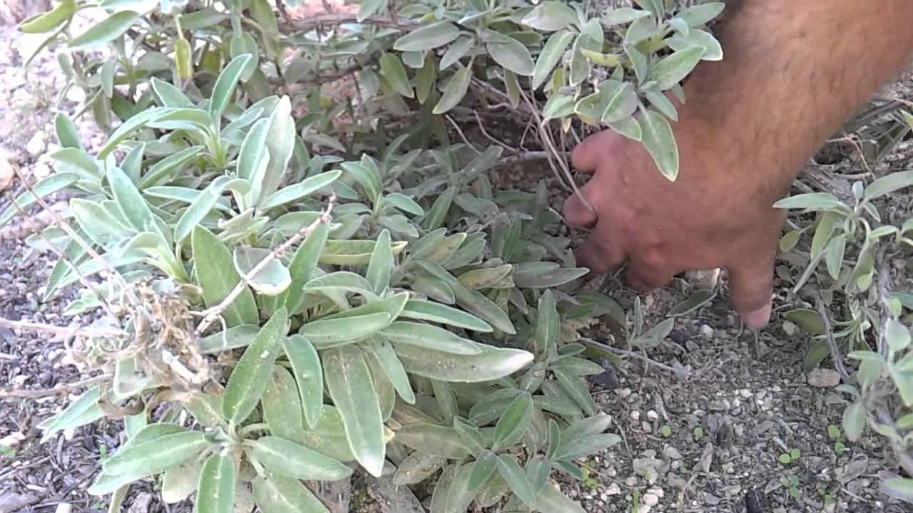 Reproducir lavanda salvia o cualquier planta youtube for Lavanda cultivo o cuidados