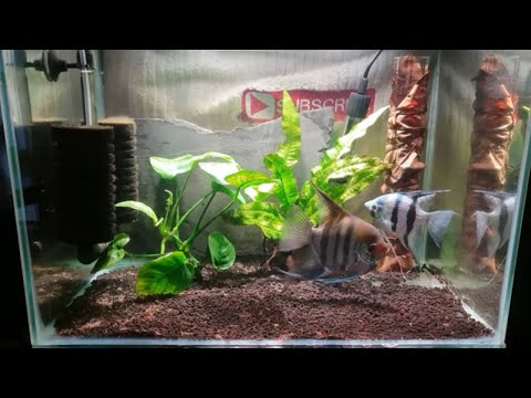 HOW TO BREED ANGELFISH PART 1