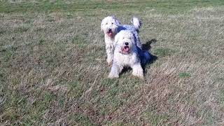 Best Friends ❤ Old English Sheepdog Walkies