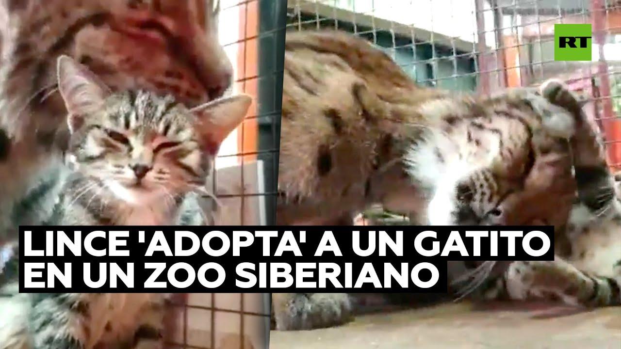 Lince 'adopta' a un gatito en un zoo siberiano