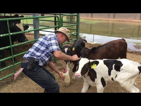 Cute Calf Feeding Frenzy || ViralHog