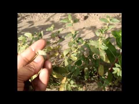Dudhi or Euphorbia hirta