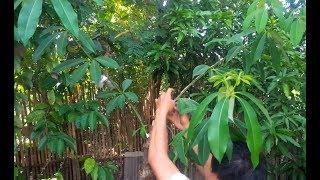 Gambar cover Pikat burung Prenjak kepala merah di belakang rumah pakai mp3