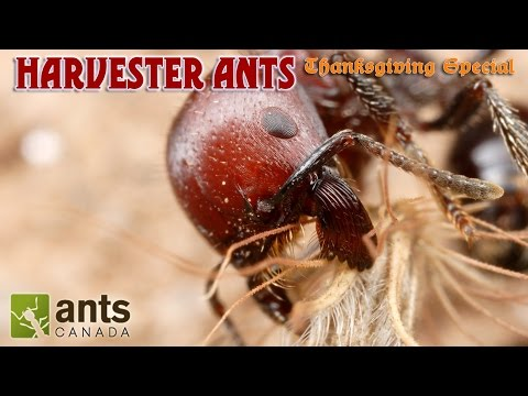 A BEARDED ANT?!!!   Harvester Ants (Thanksgiving Special Part 2)