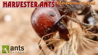 Video A BEARDED ANT?!!! | Harvester Ants (Thanksgiving Special Part 2) download MP3, 3GP, MP4, WEBM, AVI, FLV Desember 2017