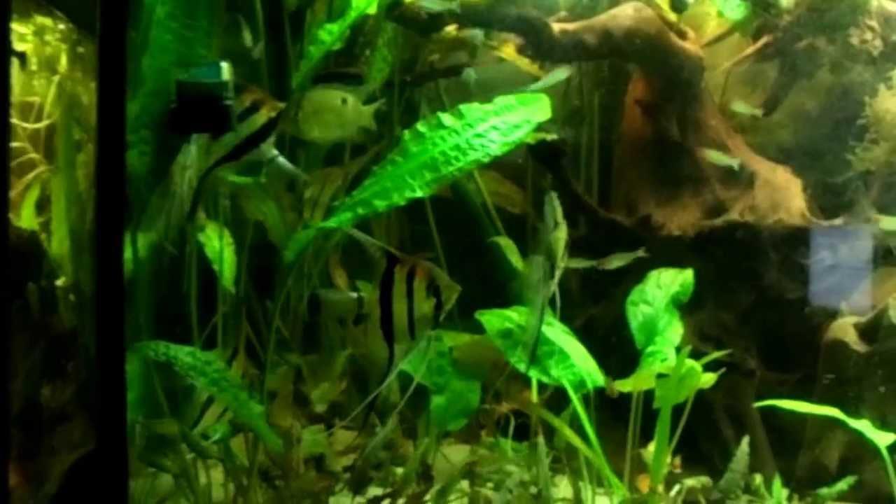 f tterung 450 liter aquarium s damerika skalare maroni rotkopfsalmler etc youtube. Black Bedroom Furniture Sets. Home Design Ideas