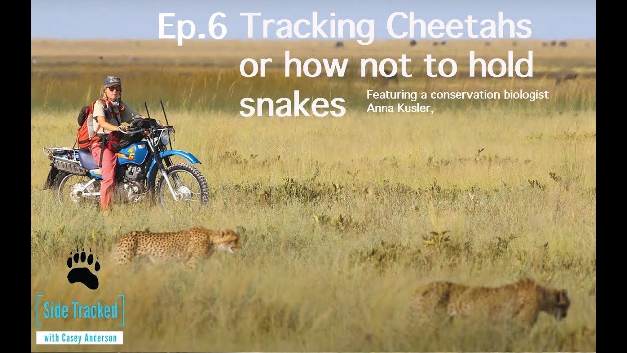 SideTracked Episode 6 - Tracking Cheetahs or how not to hold snakes