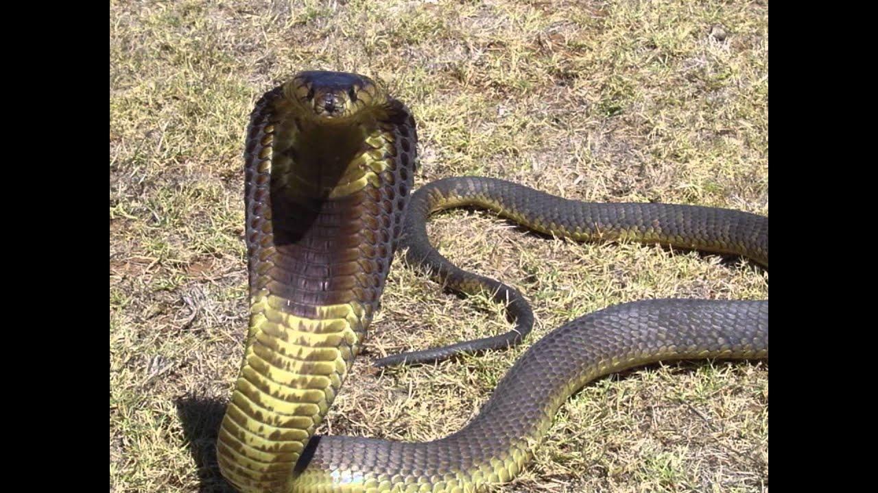 top 10 longest venomous snakes in the world youtube
