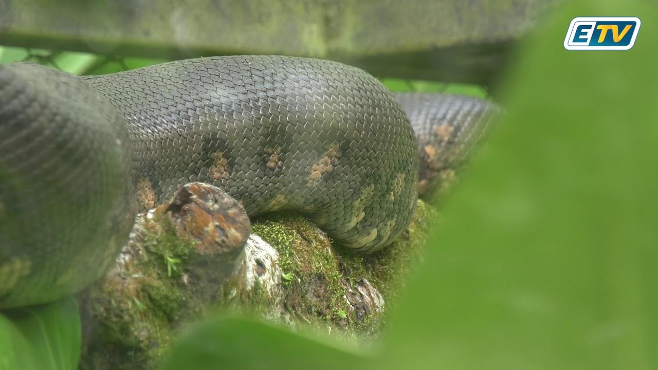 Découverte de reptiles non endémiques en Guadeloupe: un phénomène pas nouveau mais inquiétant!