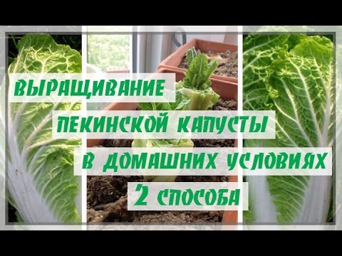 2 СПОСОБА КАК ВЫРАСТИТЬ ПЕКИНСКУЮ КАПУСТУ!07.04.17