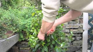 How to prune camelias