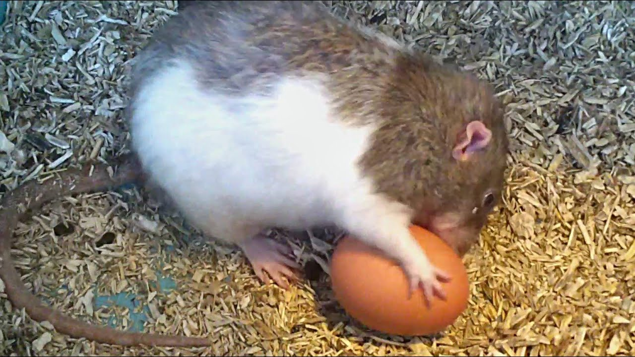pet rats vs hard boiled egg funny youtube. Black Bedroom Furniture Sets. Home Design Ideas