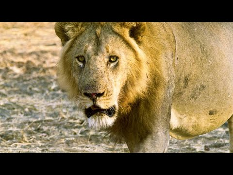 Why Rival Lions