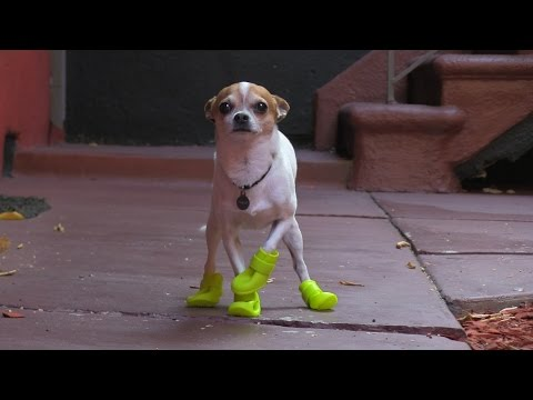 Chihuahua tries boots for the first time