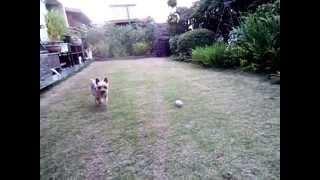 自宅の庭にドッグランを作りました。ココはここで走り回ります。
