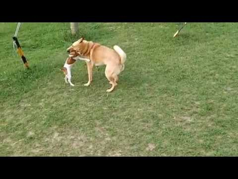 Jack Russell vs Mongrel (Fight Gets Serious)