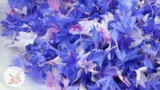 Harvesting and Drying Bachelor's Button Petals Growing Flowers from Seed Cut FLower Farm Gardening
