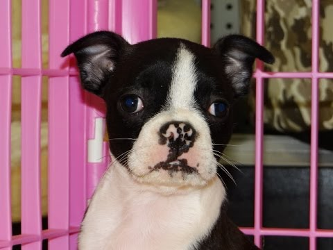 Boston Terrier, Puppies, Dogs, For Sale, In Colorado ...