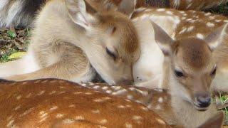 Nara Deer Park Fawns! 奈良公園の子鹿