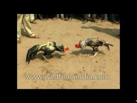 Cock fighting - awareness video about illegal and criminal activity in India