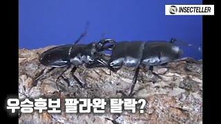 사슴벌레 최강자 팔라완왕넓적사슴벌레 탈락...? [충왕…