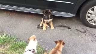 Dog fights! Chihuahua asserts his dominance to new German Shepherd puppy.