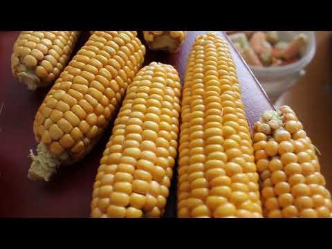 Как заготовить семена кукурузы