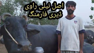 Nili Ravi Buffalos dairy farm | How to start dairy farming | Dairy farming in Pakistan