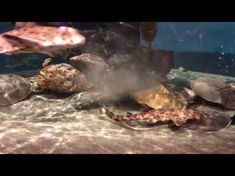 Shark feeding time at the Central Coast Aquarium
