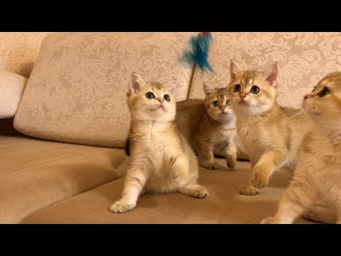 Adorable Synchronised Kittens Play