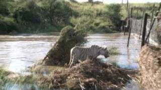 14 Tigers saved after flood at Tiger Canyons