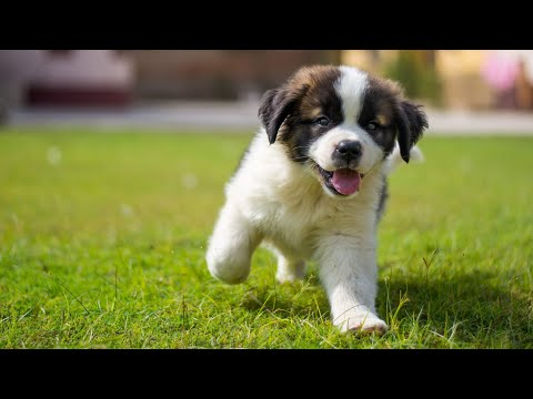 new saint Bernard puppy in Pakistan,