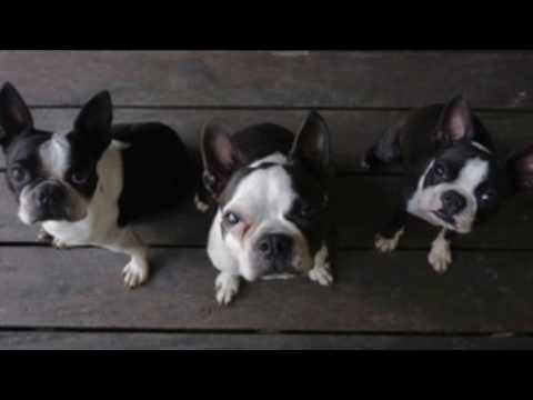 Boston Terrier Information